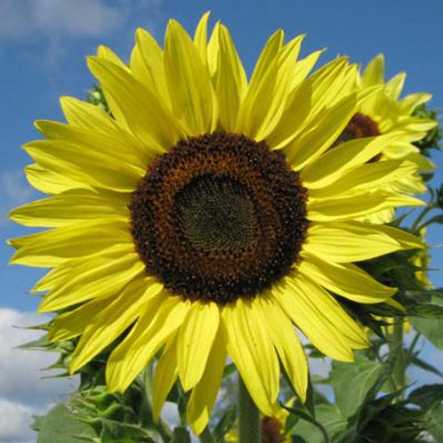 Lemon Queen Sunflower - 50 Seeds