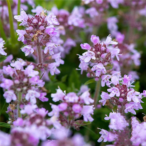 CREEPING THYME - 150 Seeds