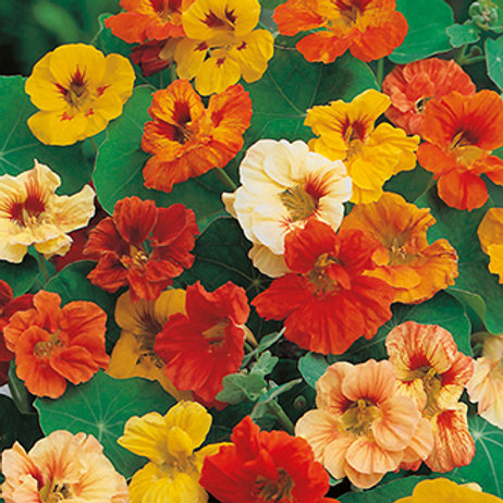 Nasturtium Jewel Mix Flowers - 20 Seeds