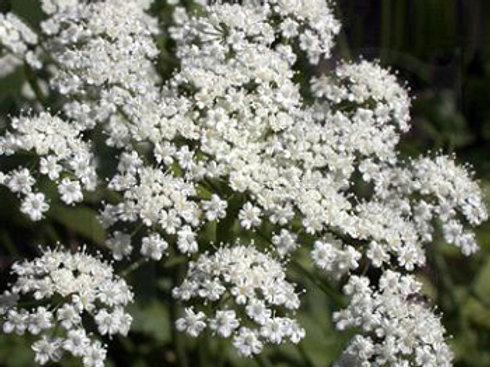 Anise Flower - 350 Seeds
