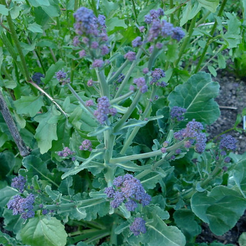 Spring Rapini Raab Broccoli - 200 Seeds