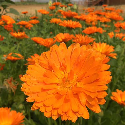 Calendula Alpha - 100 Seeds