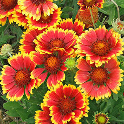 Indian Blanket Gaillardia - 300 Seeds