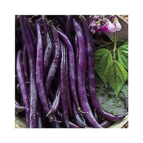 Purple Queen Bush Bean - 50 Seeds