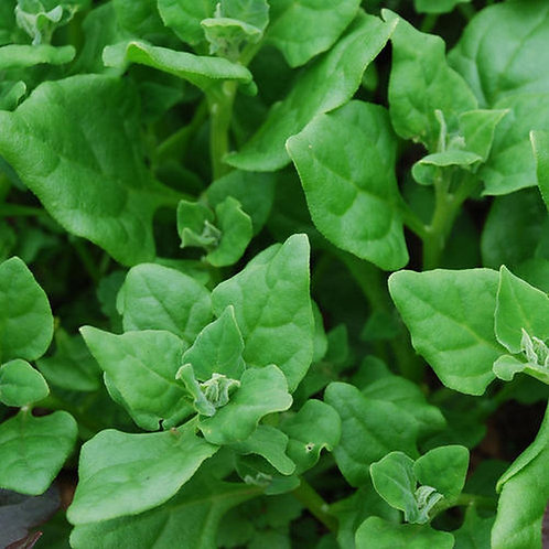 New Zealand Spinach - 25 Seeds