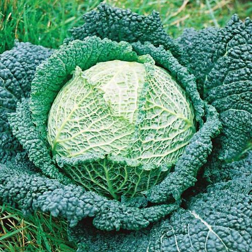 Savoy Perfection Cabbage 300 Seeds