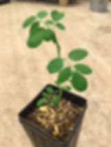 moringa tree copy.jpg