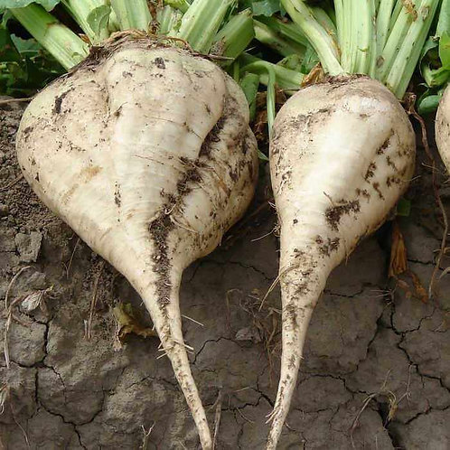 Sugar Beet - 100 Seeds