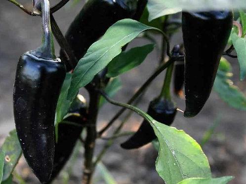 Black Hungarian Pepper - 50 Seeds