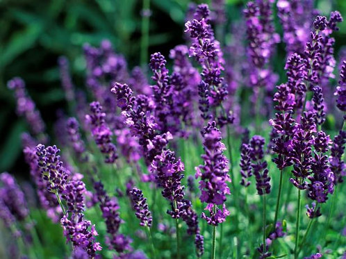 English Lavender - 200 Seeds