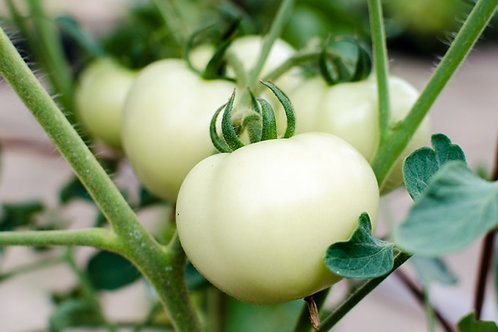 Great White Tomato - 50 Seeds