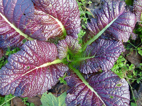 Red Giant Mustard - 1000 Seeds