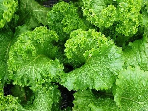 Southern Giant Curled Mustard - 2000 Seeds