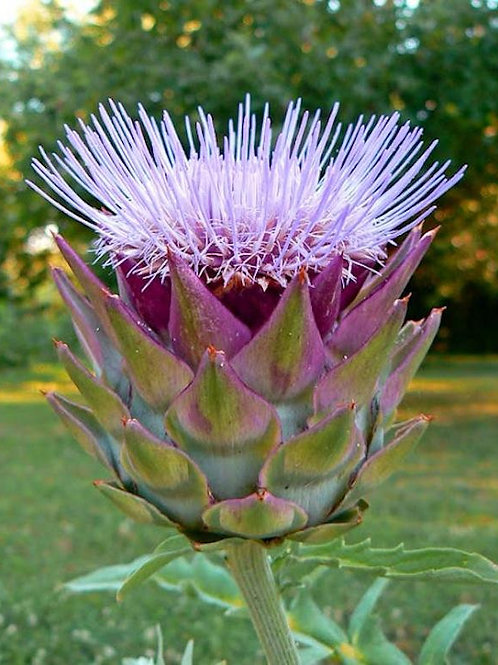 Green Globe Artichoke - 50 Seeds
