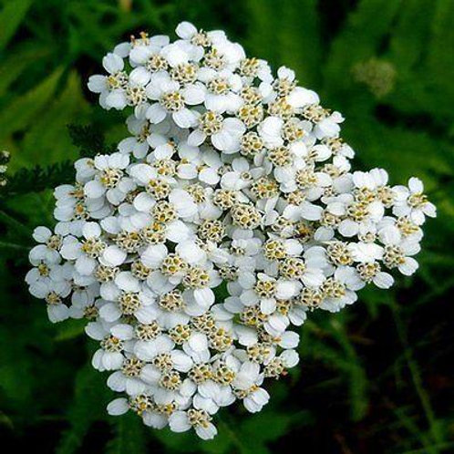 White Yarrow Flowers - 800 Seeds