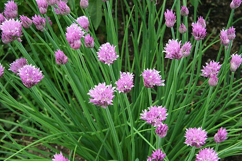Chives - 350 Seeds