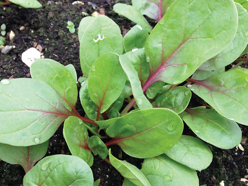 Red Kitten Spinach - 30 Seeds