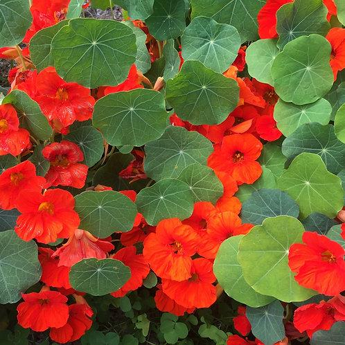 Empress of India Red Nasturtium Flower - 25 Seeds