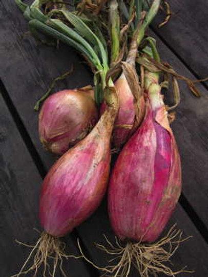 Red Torpedo Onion - 100 Seeds