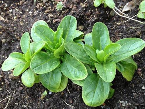 Vit Mache Green - 200 Seeds