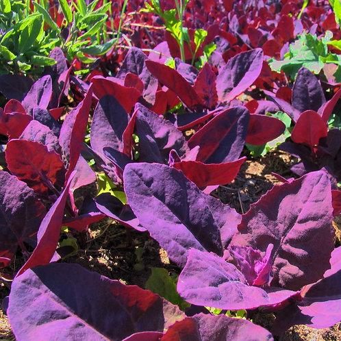 Purple Orach - 300 Seeds