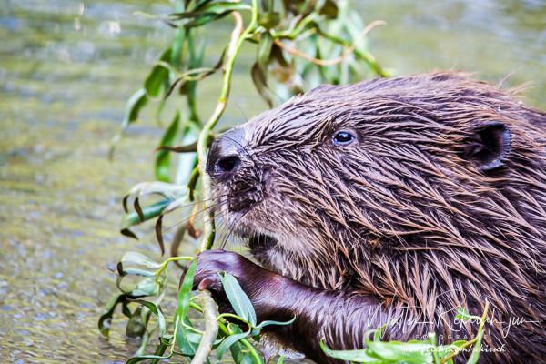 Beaver having Dinner