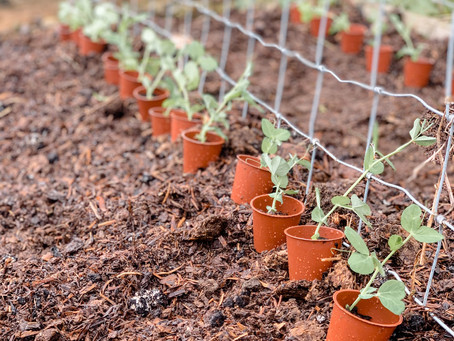 This Week In The Kitchen Garden : Planting Up The Outside Beds