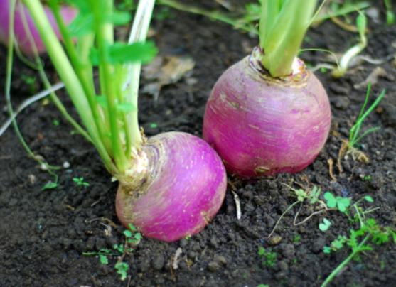 Bulls eye turnips