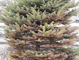 Browning Evergreen Trees?