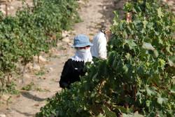 Carmey Avdat The Vineyard