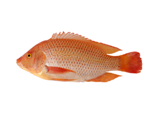 Use Israeli expertise to breed the best fish and latest techniques to produce disease free fish
