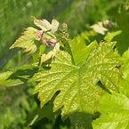 Le Chiusure, vineyards, Merlot.jpg