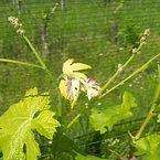 Le Chiusure, vineyards, Barbera.jpg