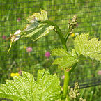 Le Chiusure, vineyards, Rebo.jpg