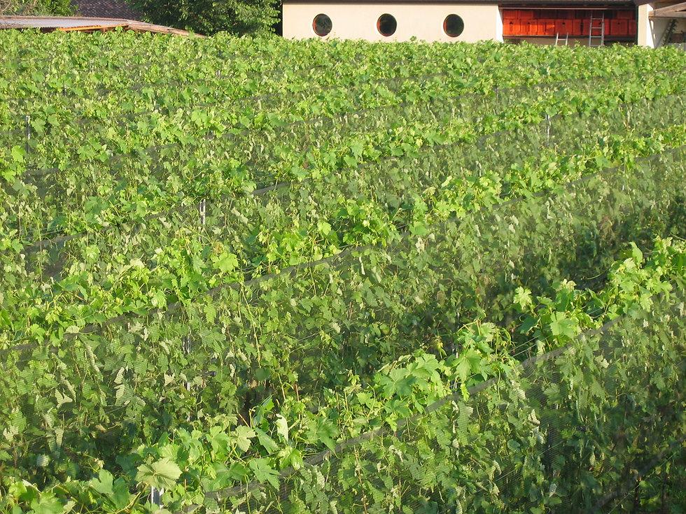 Le Chiusure, vineyards, 12.jpg