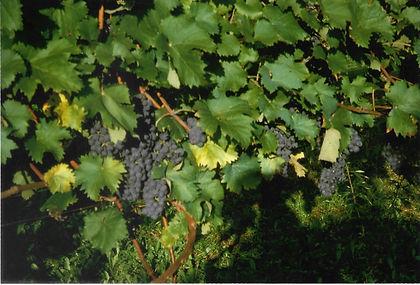Le Chiusure, grapevine, 2.jpeg