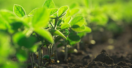 organic-soybean-seedlings_1.jpg