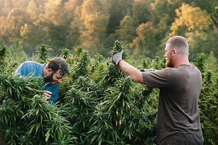 Cannabis farms.jpg