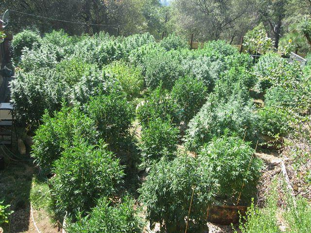 Circa 2013_ #mosthighfarms #growback #livingsoil #530 #sierranevada #NorCal #goldcountry #rastafari