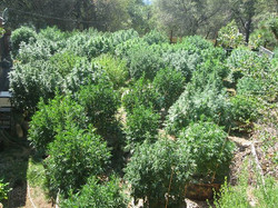 Circa 2013_ #mosthighfarms #growback #livingsoil #530 #sierranevada #NorCal #goldcountry #rastafari