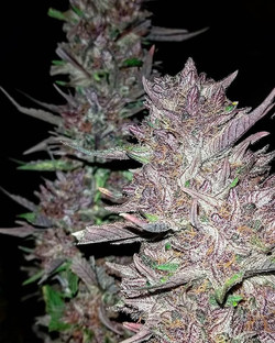 Introducing the #purpleeggplant [purple