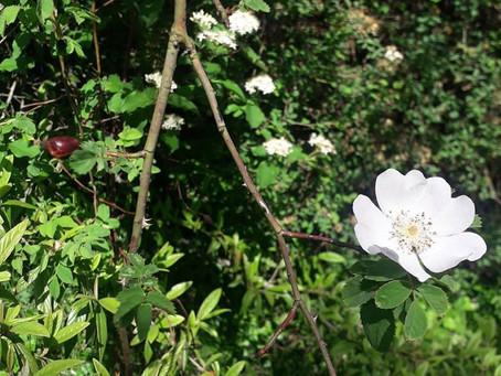 L'Eglantier - Les petites fiches Botanique & Phytothérapie à lire pendant la pause tisane