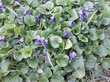 Violette odorante - Les petites fiches Botanique & Phytothérapie à lire pendant la pause tisane
