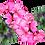 Thumbnail: Huile essentielle de Geranium rosat d'Egypte (Pelargonium graveolens)