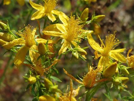 Millepertuis - Les petites fiches Botanique & Phytothérapie  à lire pendant la pause tisane