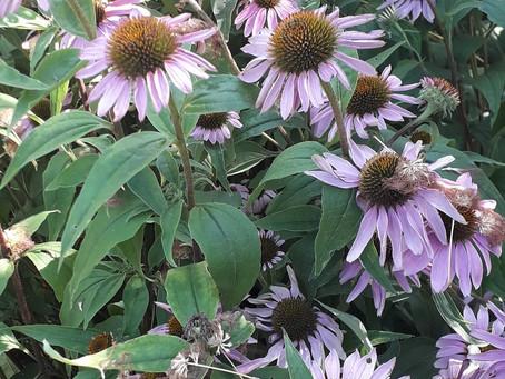 """Echinacée - Les petites fiches """"Botanique & Phytothérapie"""" à lire pendant la pause tisane"""