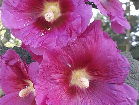 Rose trémière - Les petites fiches Botanique & Phytothérapie à lire pendant la pause tisane