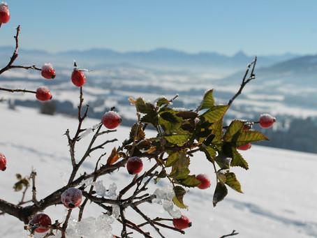 Zoom sur la plante star de l'hiver : le Cynorrhodon (Rosa canina), du peps pour l'hiver !