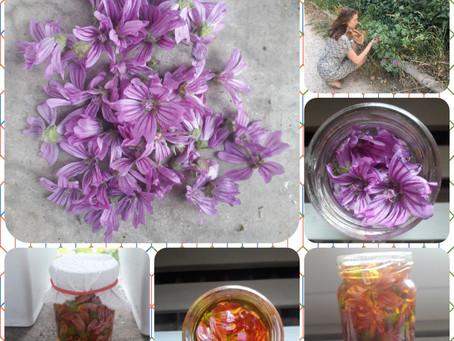 Recette DIY : macérât huileux de Mauve - Malva sylvestris 🌺