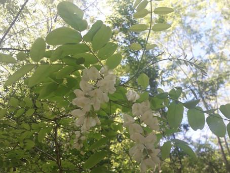 Robinier faux acacia - Petite fiche Botanique & Phytothérapie à lire pendant la pause tisane